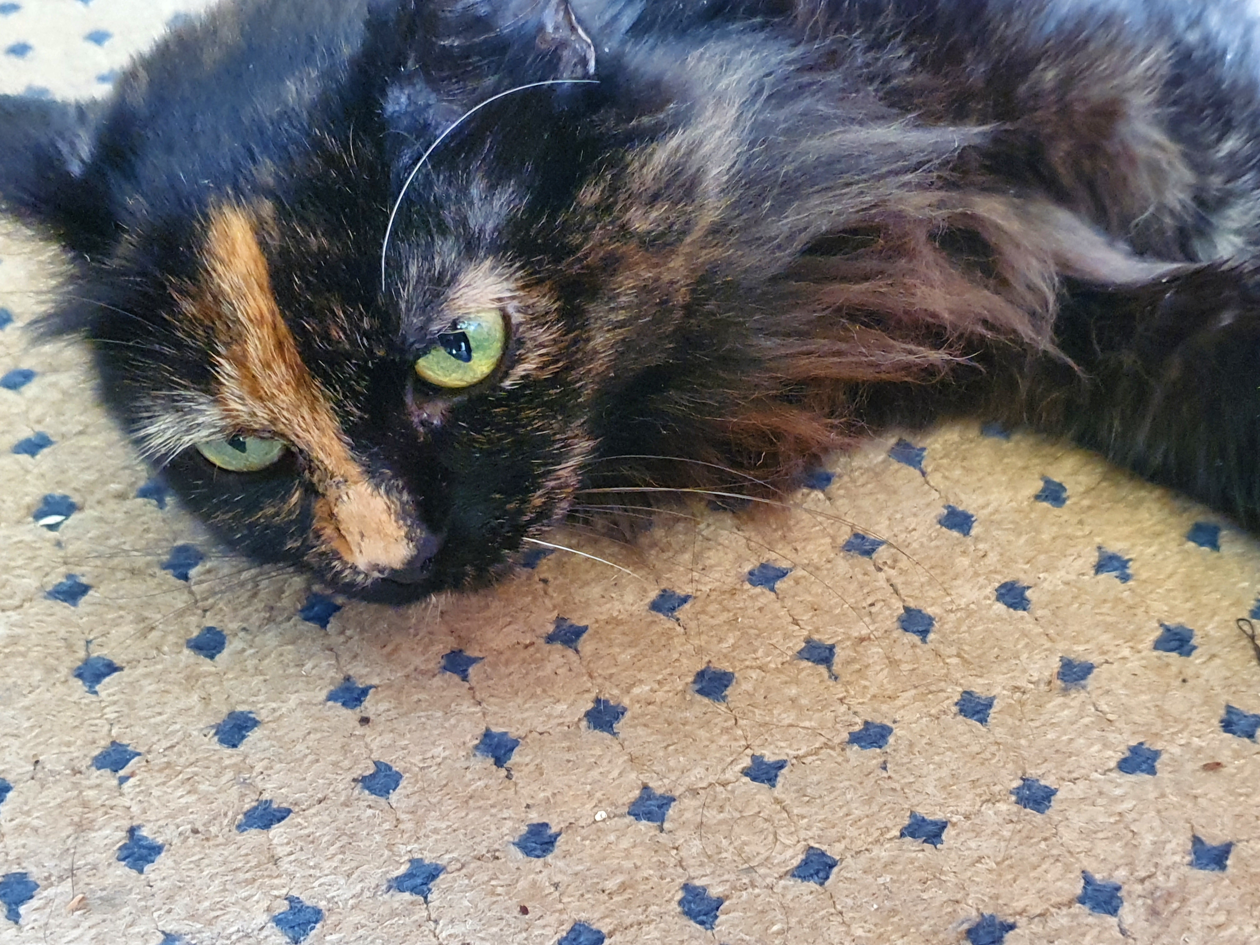 Helena the tortoiseshell cat lying down and looking cute