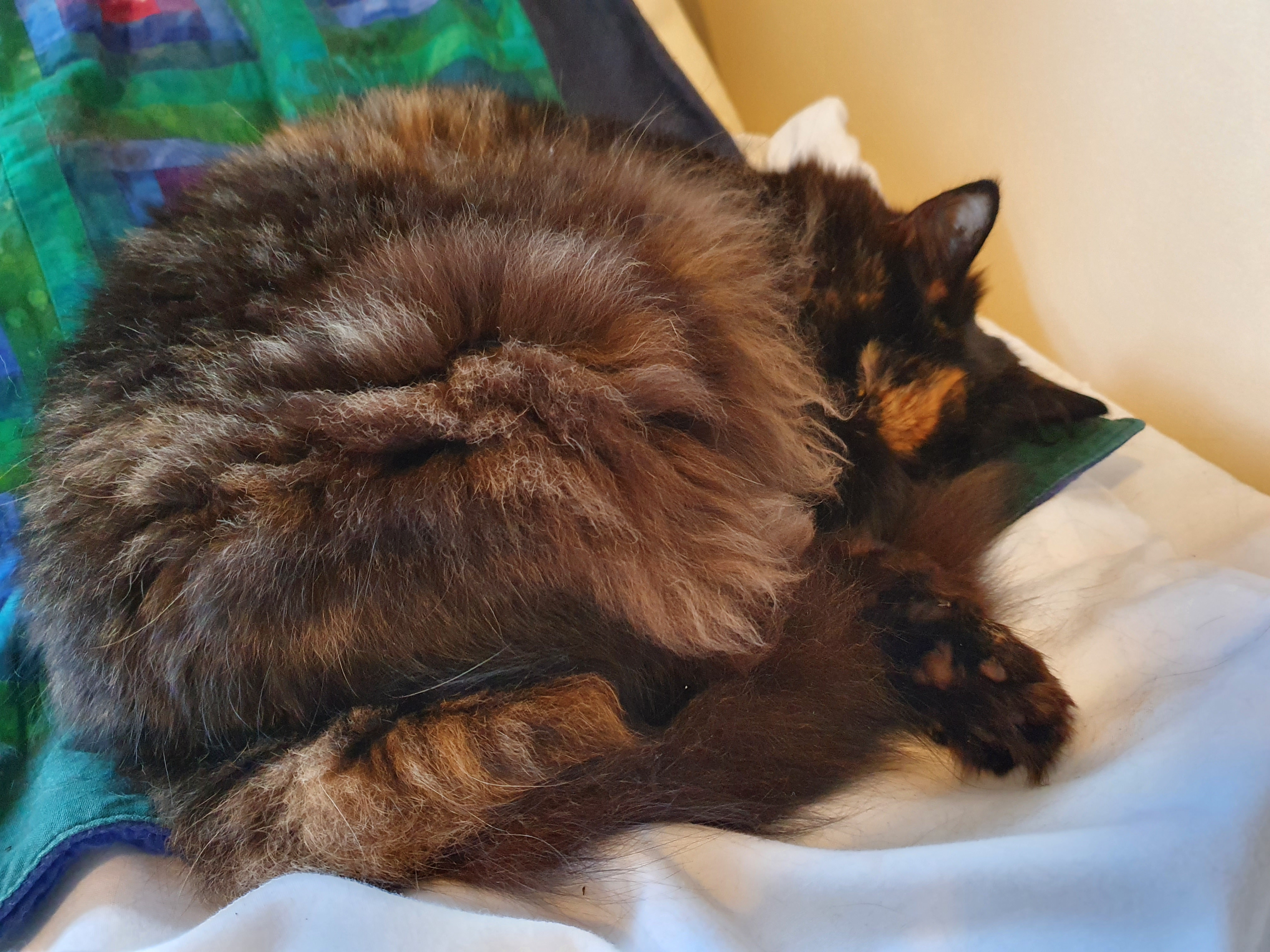 Fluffy tortoishell cat curled up on coloured and white furnishings