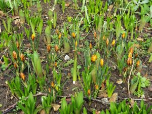A mix of green shoots and yellow/orange flower buds sprouting up from brown earth, the flower buds form a loose heart shape