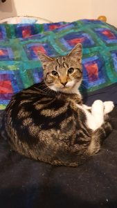Tabby kitten with white paws and under chin curled up on soft black cushion facing the camera. In the background is a handmade quilt of red squares surrounded by blue and then green grid lines